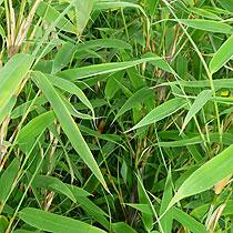 Sortiment Graser Und Bambuspflanzen Baumschule Und Gartnerei